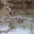 Uferschnepfe, Black-tailed Godwit, Limosa limosa, Cyprus, Limassol, Akrotiri Marsh, Rabbit Pools, April 2019