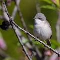 Klappergrasmücke, Lesser Whitethroat, Sylvia curuca, Cyprus, Pegeia-Agios Georgios, our Garden, April 2019