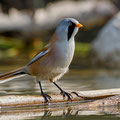 Panurus biarmicus - Bearded Reedling (male) - Bartmeise, Cyprus, Paphos - Ezousas Pool, November 2015