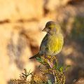 Carduelis chloris - Greenfinch - Grünfink, Cyprus, Lara Beach, April 2011
