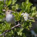 Isabellspötter, Western Olivaceous Warbler, Iduna opaca, Cyprus, Androlikou Area, April 2019