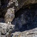 Steinkauz, Little Owl, Athene noctua, Cyprus, Paphos - Anarita Park Area, Warteposition, Mai 2018