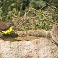 Seidensänger, Cetti's Warbler, Cettia cetti, Cyprus, Pegeia-Agios Georgios, März 2017