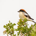 Lanius senator - Woodchat Shrike - Rotkopfwürger, Cyprus, Anarita Park, April 2015