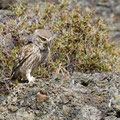 Steinkauz, Little Owl, Athene noctua, Cyprus, Paphos - Anarita Park Area, Juni 2018