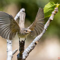 Grauschnäpper, Spotted Flycatcher, Muscicapa striata, Cyprus, Pegeia-Agios Georgios, our Garden, April 2019