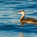 Podiceps cristatus - Great Crested Grebe - Haubentaucher, Cyprus, Paphos Kefalos Beach, Januar 2015