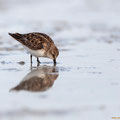 Calidris alpina - Dunlin - Alpenstrandläufer, Cyprus, Akrotiri - Salt Lake, Aug. 2014
