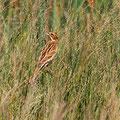 Emberiza schoeniclus - Reed Bunting - Rohrammer, Cyprus, Fassouri, Nov. 2013