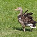 Anser anser - Greylag Goose - Graugans