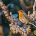 Erithacus rubecula - European Robin - Rotkehlchen, Cyprus, Akamas-Lara, 15.12.2011