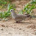 Oena capensis - Namaqua Dove (female) - Kaptäubchen, Cyprus, Mandria Greenhouse Area, March 2016