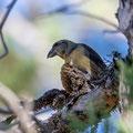 Fichtenkreuzschnabel, Common Crossbill, Laxia curvinostra, Cyprus, Troodos, Livadi tou pashia, 26. October 2018
