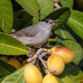 Mönchsgrasmücke, Blackcap male, Sylvia atricapilla, Cyprus, Pegeia-Agios Georgios, our Garden, April 2019