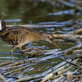 Wasserralle, Water Rail, Rallus aquaticus, Cyprus, Limassol-Zakaki Pool-Marsh, 27. September 2018