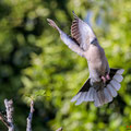 Türkentaube, Collared Dove, Streptopelia decaocto, Cyprus, Pegeia-Agios Georgios, our Garden, April 2019
