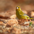 Carduelis chloris - Greenfinch - Grünfink, Cyprus, Agios Georgios - oour Garden, March 2012