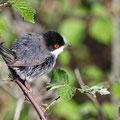 Sylvia melanocephala - Sardinian Warbler - Samtkopf-Grasmücke, Cyprus, Anarita Park, April 2016