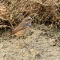 Schilfrohrsänger, Sedge Warbler, Acrocephalus schoenobaenus, Cyprus, Limassol, Zakaki Marsh - Pool, 18. October 2018