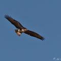 Buteo buteo - Common Buzzard - Maeusebussard, Cyprus