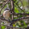 Lanius nubicus - Masked Shrike - Maskenwürger, Cyprus, Vretsia, Mai 2015
