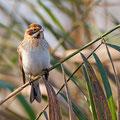 Emberiza schoeniclus - Reed Bunting - Rohrammer, Cyprus, Fassouri, Jan. 2014