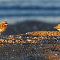 Charatrius leschenaultii columbinus 2 - Greater Sand Plover - Wüstenregenpfeifer, Cyprus, Mandria Beach, 20.04.2016