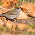 Sylvia atricapilla - Mönchsgrasmücke - Blackcap, Cyprus, Villa Levante, April 2014