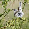 Sylvia curuca - Lesser Whitethroat - Klappergrasmücke