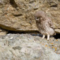 juvenile Little Owl´s, Athene noctua, Cyprus, Paphos - Anarita Park Area, around breeding cave, Mai - June 2018