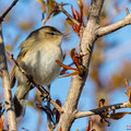 Zilpzalp, Common Chiffchaff, Phylloscopus collybita, Cyprus, Pegeia - Agios Georgios, March 2019