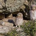 junge Steinkauze, Athene noctua, Cyprus, Paphos - Anarita Park Area, an der Bruthöhle, Mai- Juni 2018