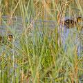 Moorente, Ferruginous Duck, Aythya ayroca, Cyprus, Akrotiri Fasouri Marsh, Mai 2017
