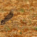Circus Cyancus - Northern Hen Harrier (female) - Kornweihe, Cyprus, Mandria, 06.11.2012