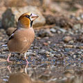 Coccothrausters coccothrausters - Hawfinch - Kernbeisser, Cyprus, Troodos, Dec. 2014