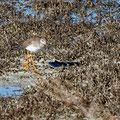 Anas crecca - Eurasian Teal - Krickente, Cyprus, Oroklini, Februar 2016