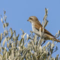 Neuntöter, Read-backed Shrike, Lanius collurio, Cyprus, Akrotiri - Zakaki Marsh, September 2018