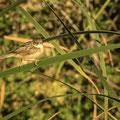 Zistensänger, Zitting Cisticola, Cisticola juncidis, Cyprus, Ineia-Pittokopos, Juli 2018