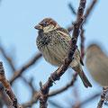 Weidensperling,  Spanish Sparrow, Passer hispaniolensis, Cyprus, Mandria Fields, Januar 2017