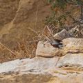 Tichodroma muraria - Wallcreeper - Mauerläufer, Cyprus, Avakas Gorge, Nov. 2013