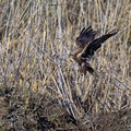 Rohrweihe, Western Marsh Harrier, Circus aeroginosus, Cyprus, Akrotiri Marsh, 11.April 2018
