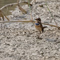 Blaukehlchen, Bluethroat, Luscinia svecica, Cyprus, Limassol, Zakaki Marsh - Pool, 18. October 2018