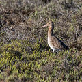 Limosa limosa - Black-tailed Godwit - Uferschnepfe, Cyprus, Akrotiri - Salt Lake, April 2015
