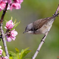 Klappergrasmücke, Lesser Whitethroat, Sylvia curuca, Cyprus, Pegeia-Agios Georgios, our Garden, April 2019