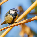 Parus Major, Kohlmeise, Great Tit, Cyprus, Home Area, 2013