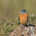Monticola saxatilis - Rufus-tailed Rock Trush - Steinrötel, Cyprus, Anarita Park, March 2015