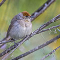 Sylvia atricapilla - Mönchsgrasmücke - Blackcap, Cyprus, Anarita Park, April 2015