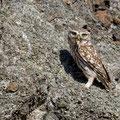 Steinkauz, Little Owl, Athene noctua, Cyprus, Paphos - Anarita Park Area, Mai 2018