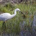 Seidenreiher, Little Egret, Egretta Garzetta, Cyprus, Akrotiri Marsh, 11.April 2018