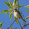 Iduna pallida - Eastern Olivaceous Warbler - Blassspötter, Cyprus, Vretsia, Mai 2015